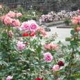 広いお庭がバラでいっぱい